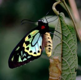 Birdwing butterfly on a leaf.