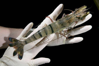 Two hands in latex gloves holding a large prawn with black stripes