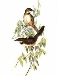 A hand drawn image of two noisy scrub birds sitting on tree branches